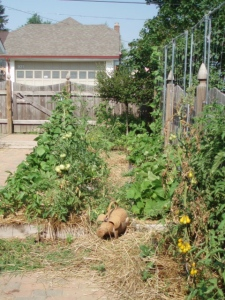 Potager with pig